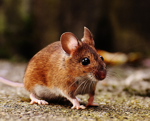 mouse - Boo's Bug Stoppers Beaver County PA Pest Control