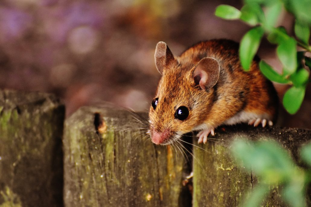 A rodent outside - When it comes to your health, rodent control needs to be done the right way - here's what you can expect when using rodent control with Boo's Bug Stoppers.